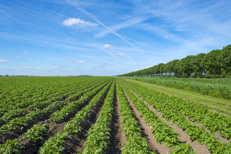 furrows: Vegetables growing on a sunny field in spring