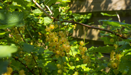 palmate: White berries growing in a sunny garden in summer Stock Photo