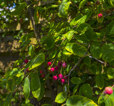 pome: Fruit growing on a tree in sunlight in summer Stock Photo