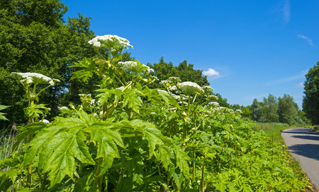 parsnip: Cow parsnip along a road in summer