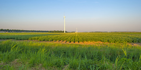 potato tree: Vegetables growing on a sunny field in summer Stock Photo