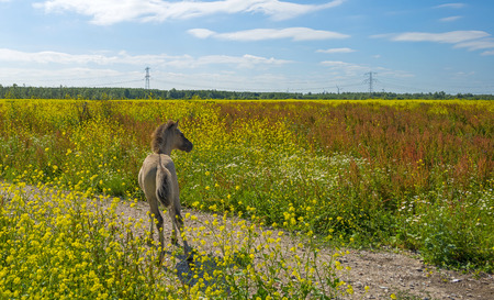 tranquil: Foal running in a field with wildflowers in summer