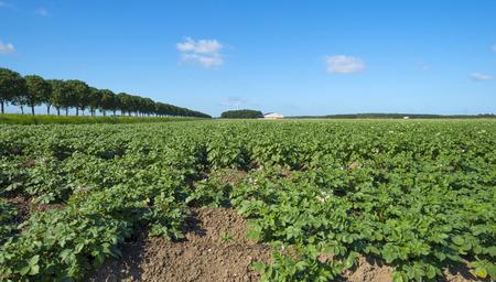 potato tree: Vegetabels growing in a field in summer Stock Photo