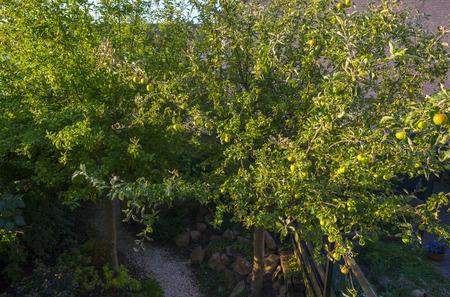 fruit tree: Apples in a fruit tree in sunlight in summer