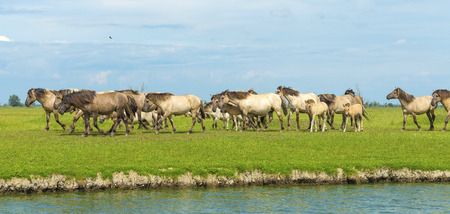 almere: Herd of wild horses running along a river Stock Photo