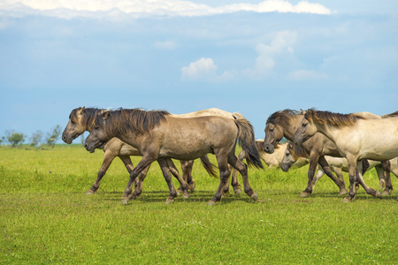almere: Herd of wild horses running in a field Stock Photo