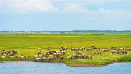 almere: Herd of wild horses along a lake