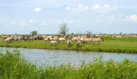 almere: Herd of wild horses along a lake in summer Stock Photo
