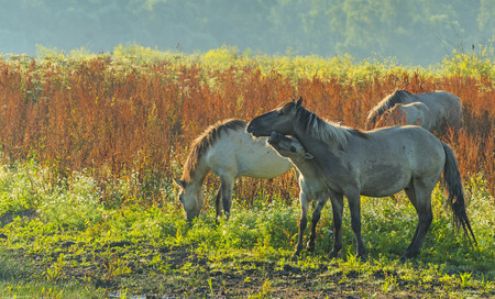 countryside landscape: Herd of wild horses in a field at sunrise in summer