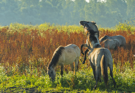 Herd of wild horses in a field at sunrise in summer