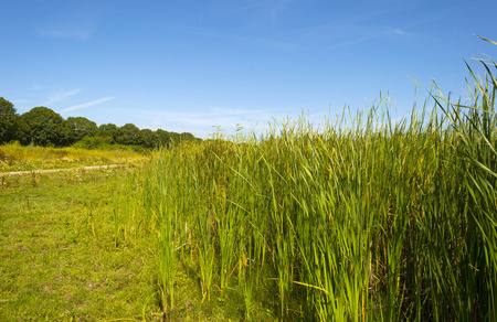green landscape: Cattails on the shore of a lake in summer Stock Photo