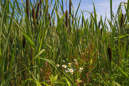 cattails: Cattails on the shore of a lake in summer Stock Photo
