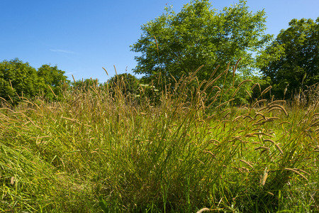 wetland: Tall grasses in a field in summer