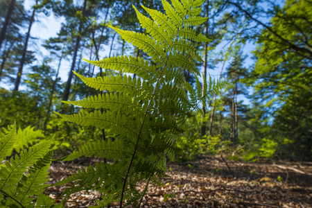 Pattern of the leave of a fern in a forest in sunlight Фото со стока - 43380736