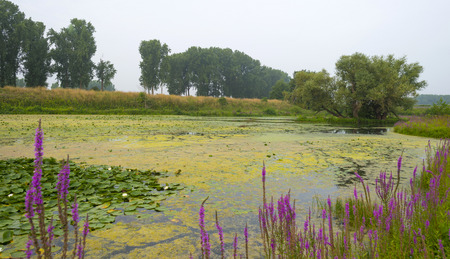 waterlillies: Wildflowers along the shore of a river in summer Stock Photo