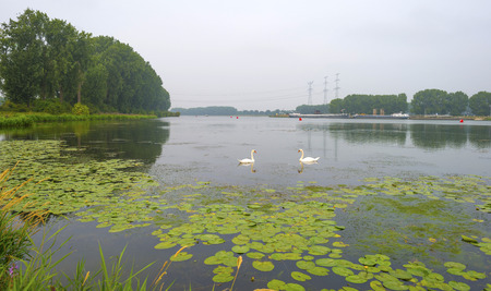 waterlillies: Swan swimming along the shore of a river