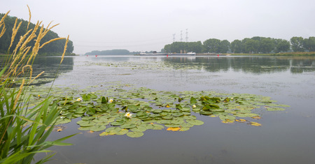 waterlillies: Water lillies in a river in summer