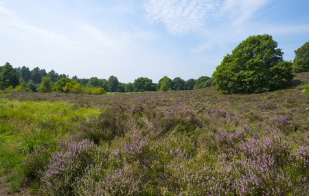 clearing: Clearing with blooming heather in a forest