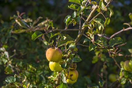 arbre fruitier: Pommes dans un arbre fruitier dans la lumi�re du soleil en �t�
