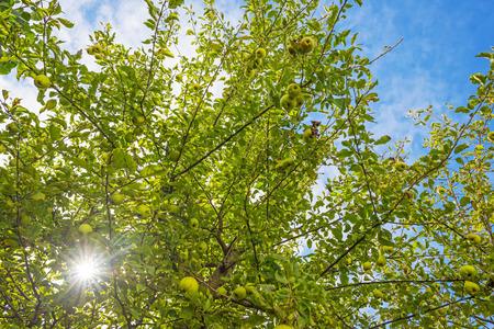 arbre fruitier: