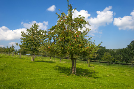 summer trees: Orchard with apple trees in a field in summer Stock Photo