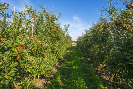 arboles frutales: Huerto con árboles de manzana en un campo en verano Foto de archivo