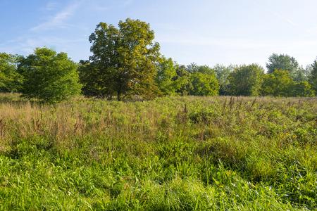 chestnut tree: Chestnut tree in a sunny field in summer