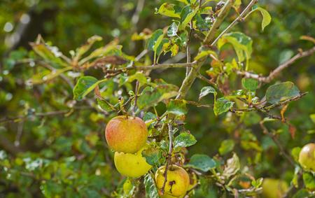arbre fruitier: Pommes dans un arbre fruitier dans la lumi�re du soleil apr�s la pluie Banque d'images