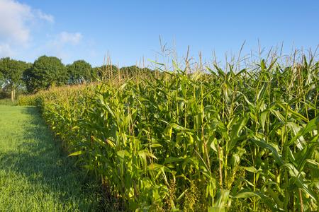 fall trees: Corn on a sunny field in autumn Stock Photo