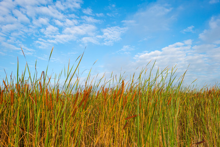 fall trees: Reed below a blue cloudy sky in autumn