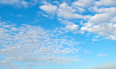 blue cloudy sky: Geese flying in a blue cloudy sky in autumn