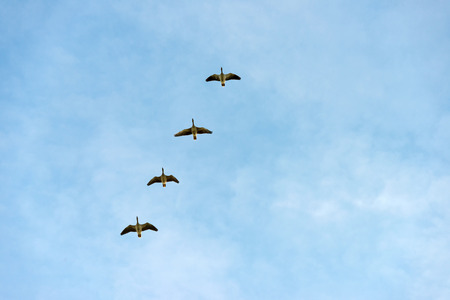 anatidae: Geese flying in a blue cloudy sky in autumn