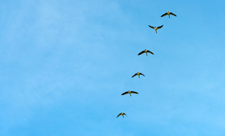 anatidae: Geese flying in a blue sky in autumn