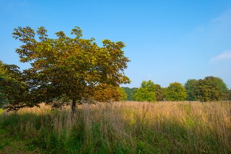 chestnut tree: Chestnut tree in a field in autumn light