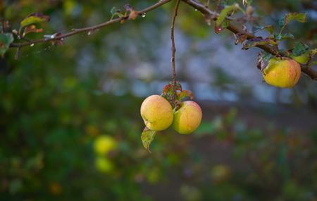 fruit tree: Apples in a fruit tree in a garden Stock Photo