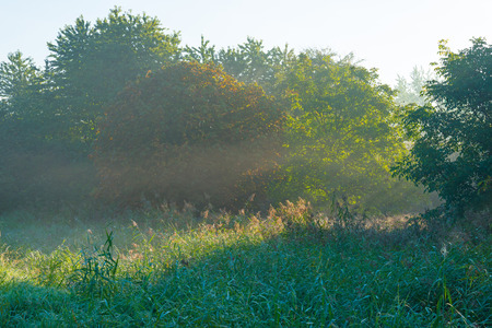 chestnut tree: Chestnut tree in a foggy field in sunny autumn
