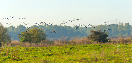 flevoland: Geese flying in a hazy sunny sky in autumn Stock Photo