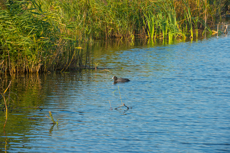 coot: Coot swimming in a lake in autumn Stock Photo