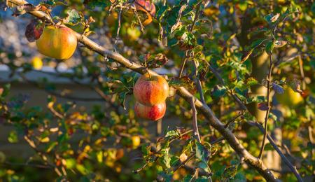 fruit tree: Apples in a fruit tree in sunlight