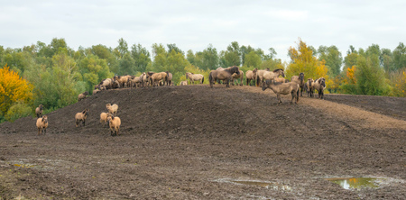 almere: Herd of horses konik near trees in autumn colors