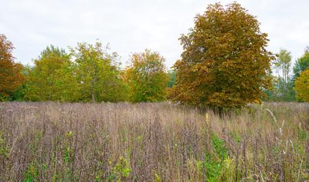 chestnut tree: Chestnut tree in a field in autumn