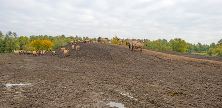 muddy: Herd of Konik horses on a muddy hill in autumn