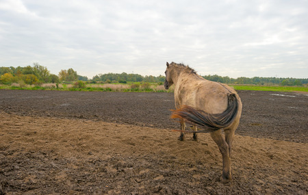 muddy: Konik horse on a muddy hill in autumn
