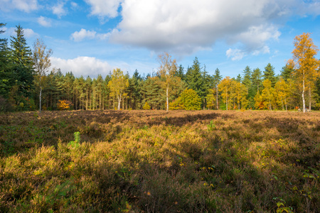 heath: Clearing with heath in a pine forest in autumn Stock Photo