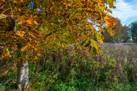 chestnut tree: Chestnut tree in a field in autumn colors