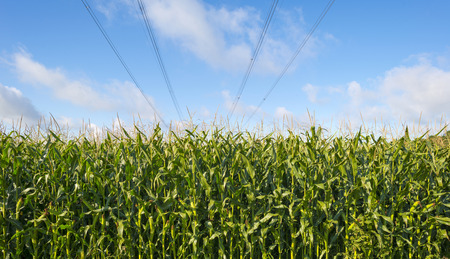 flevoland: Power line on a field with corn in autumn