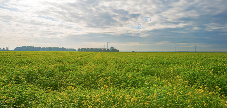 rapeseed: Rapeseed on a sunny field in autumn