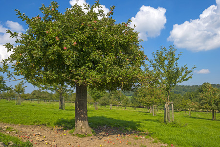 Orchard with apple trees in a field in summer Stock Photo