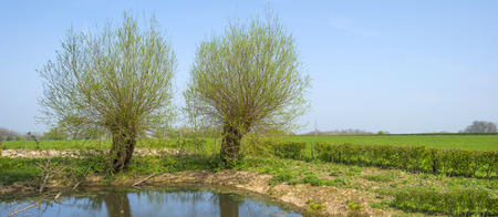 pollard willows: Pollard willows along a sunny lake in spring Stock Photo