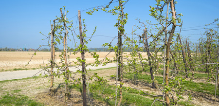 arbres fruitier: Orchard with fruit trees in bud in spring